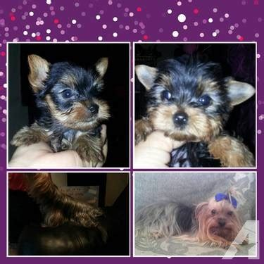 yorkies for sale in mcallen tcup yorkie ready to b adopted for sale in mcallen classified