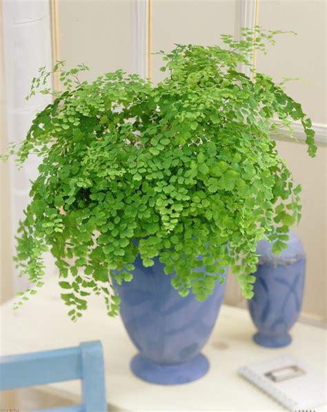 good houseplants for low light 99roots com plants flowers delta maidenhair fern