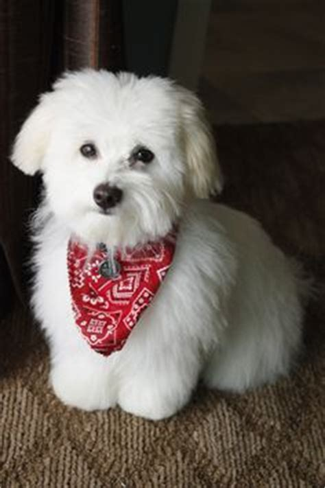 derby city havanese 1000 ideas about havanese grooming on