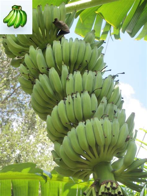 bananas on tree rajapuri banana tree will fruit in 9 months instead of