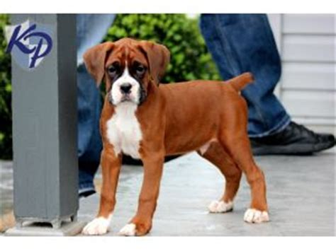 boxer puppies florida boxer puppies for sale