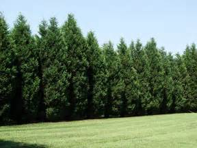 12 reasons proving leyland cypress trees are best fast growing trees com blog