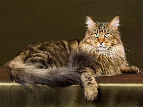 chats rooms maine coon cat