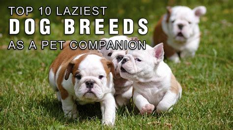 top  laziest dog breeds      pet companion