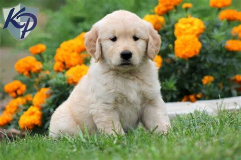 golden retriever breeders sydney 111 best loving puppies for sale images on puppies for sale golden