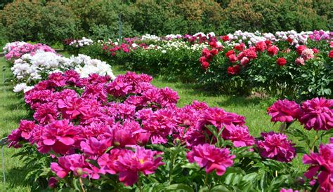 growing peonies how to plant and grow the peony flower