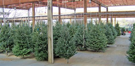 living xmas trees for sale trees for sale free stock photo domain pictures