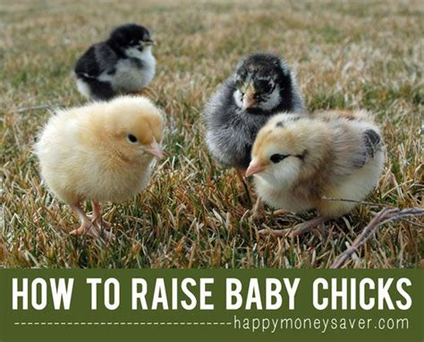 how to raise backyard chickens for eggs 17 best images about chicken coop hen house ideas on