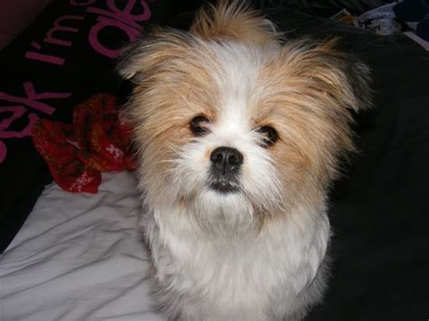 pomeranian crossed with shih tzu 18 best images about woof woof on berdoodle poodles and tibetan terrier