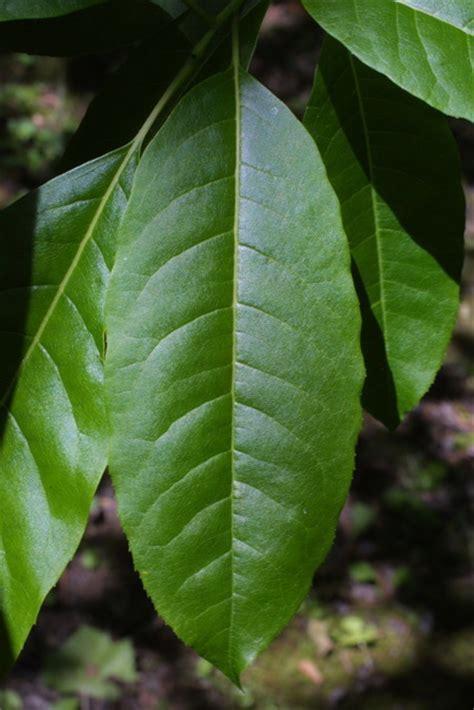 quia tree id