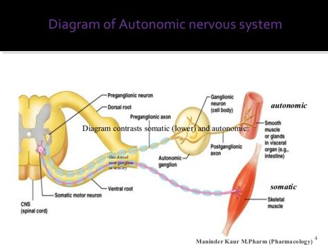 diagram of autonomic nervous system physiology of autonomic nervous system