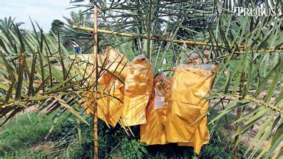 1 Jantan 2 Betina Bibit Tanaman Buah Kurma Deglet Noor tertarik budidaya kurma tropis inilah tips mudah dan