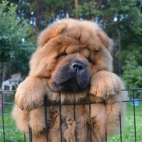 chow chow chow chow chow chow pinterest dog animal and instagram