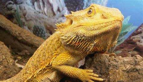5 great pet lizards for beginners lizard types
