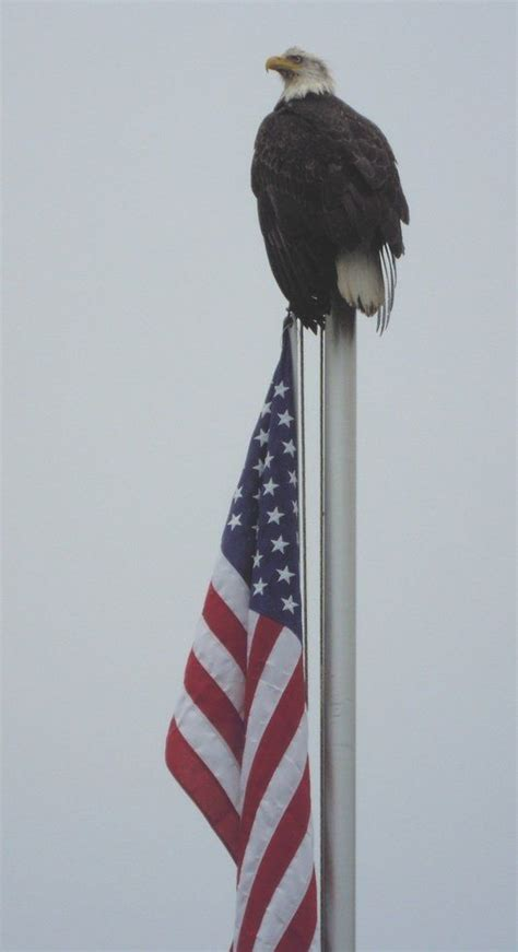 shot patriotic bald eagle  nestucca river
