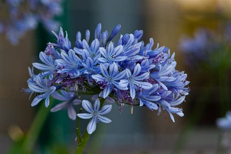 agapanthus flower pictures meanings white agapanthus