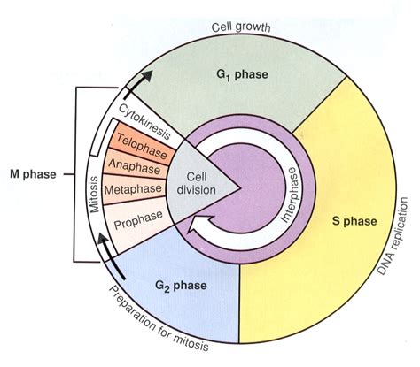 cell cycle diagram to label ursuspace unit 05 cell sizing and reproduction
