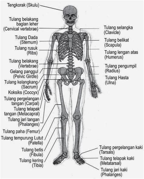 Fungsi Propolis Bagi Tubuh Manusia Adalah 1 Sebagai Suplementasi K kerangka tubuh manusia dan fungsinya welda aprilia s