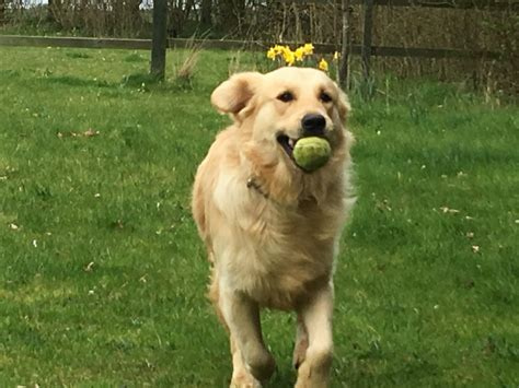 golden retriever puppies for sale boston golden retriever boston lincolnshire pets4homes