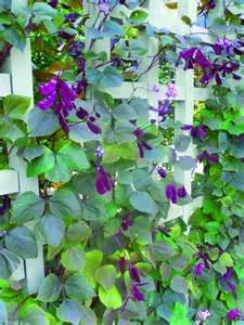 climbing plant purple flowers woodworking projects plans