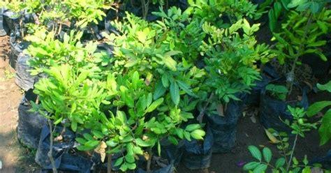 Bibit Kelengkeng Murah bibit tanaman murah jual bibit kelengkeng di yogyakarta