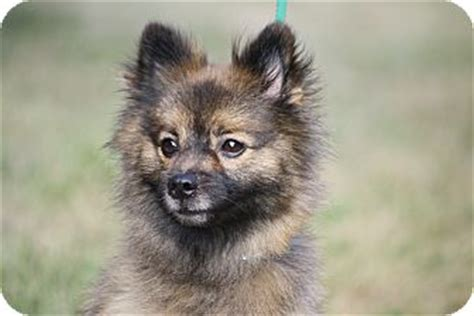pomeranian rescue nj hudson 12 lbs adopted staryky west milford nj pomeranian keeshond mix