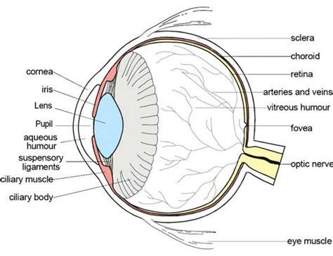 cross section eye label the cross section of an eye anatomy inner body