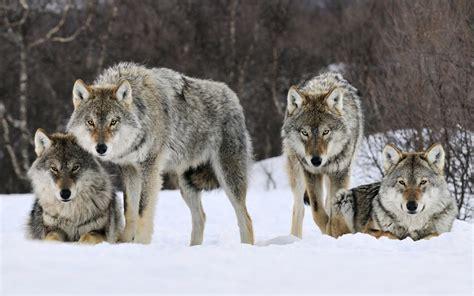 wolf s browniecheesecake wolves vicious predators or normal