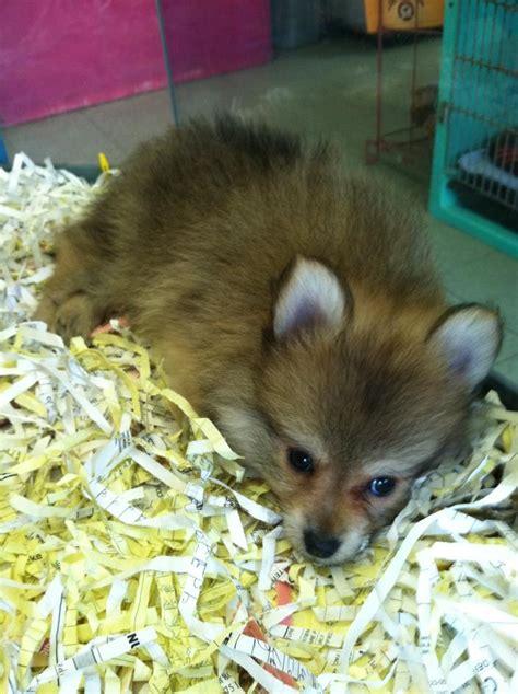 pomeranian like a pomeranian puppy looks like a fox