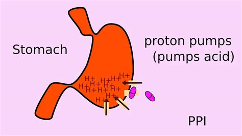 How Proton Inhibitors Work by How Does Nexium Ppis Work