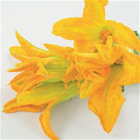 zucchino da fiore zucchino da fiore striato d italia f1 acquistare