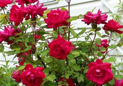 bunga mawar  manfaatnya  tentang bunga
