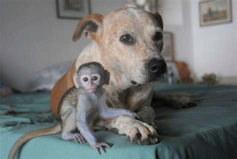 monkeys dogs meet the who looks after baby monkeys picture animal kingdom s