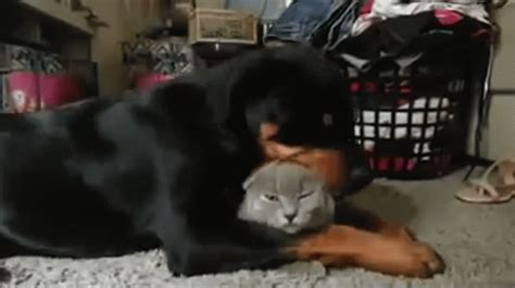 are rottweilers with cats overzealous rottweiler his cat bff a liiiittle much huffpost