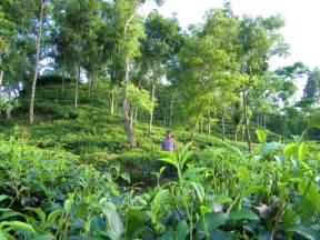 panoramio photo of sylhet tea garden