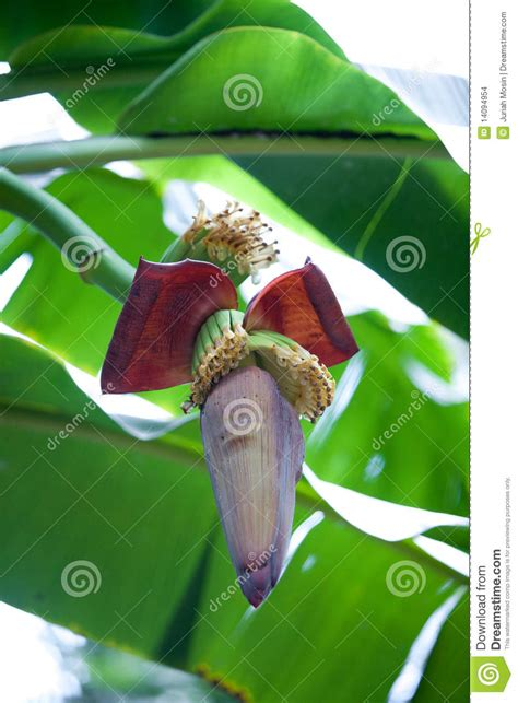Buds Shooting Nappy Time Shooting shoot of a banana plant stock images image 14094954