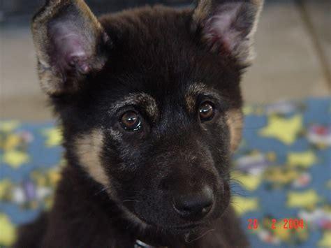 pictures of german shepherd puppies at 8 weeks german shepherd puppies 8 weeks dogs our friends photo