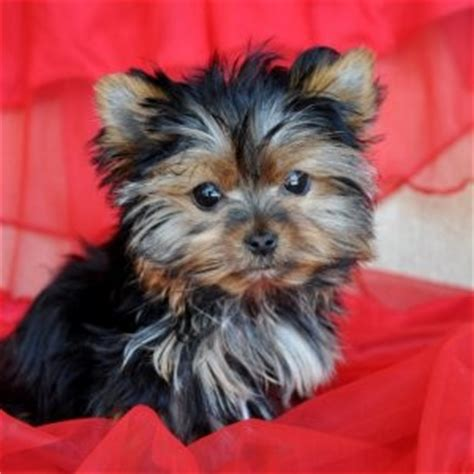 teacup yorkies for adoption in nc pets wilson nc free classified ads