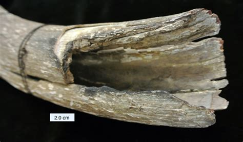 mastadon tusk wooster geologists 187 archive 187 wooster s fossil of the week a mastodon tusk late