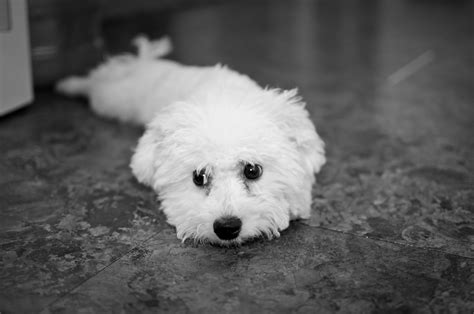 bichon breed breed bichon frise on the floor at home wallpapers and images wallpapers