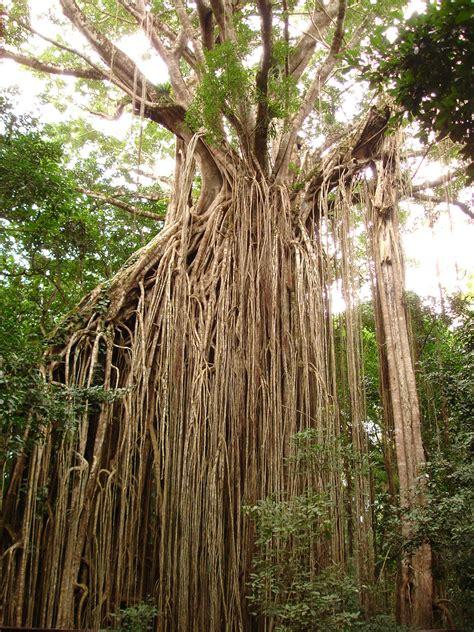 File Curtain Fig Tree Queensland Australia Jpg