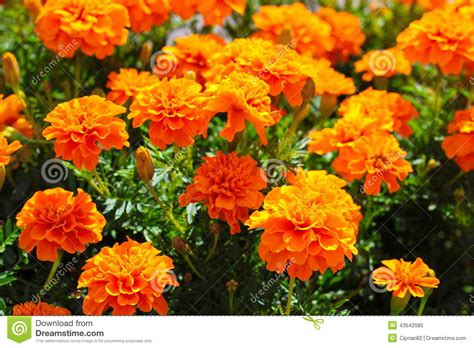 beautiful orange orange beautiful flowers stock photo image 43642085
