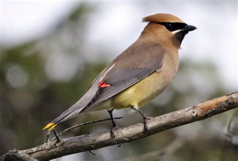 wild birds unlimited photo share cedar waxwing plucks