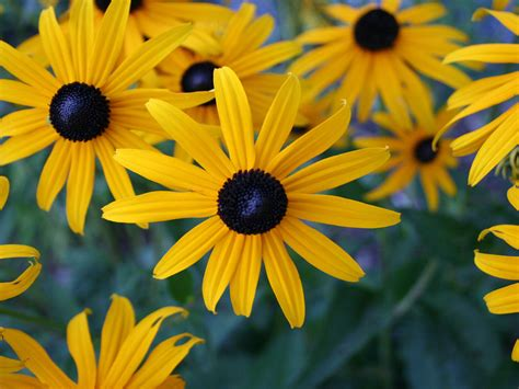 yellow flowers hd wallpaper black eyed susans flowers