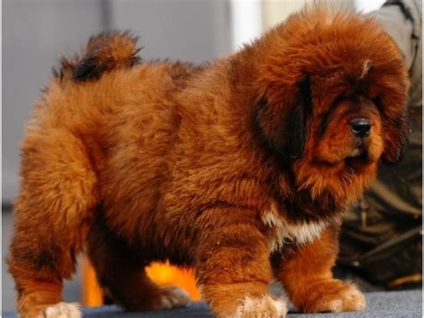 tibetan mastiff puppy for sale the 25 best mastiff puppies for sale ideas on