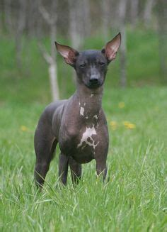 peruvian inca orchid puppies peruvian inca orchid on hairless orchids and breed info
