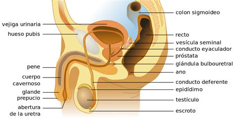cuales son las partes del pene aparato reproductor masculino wikipedia la enciclopedia