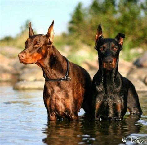 doberman colors the 25 best black doberman ideas on doberman