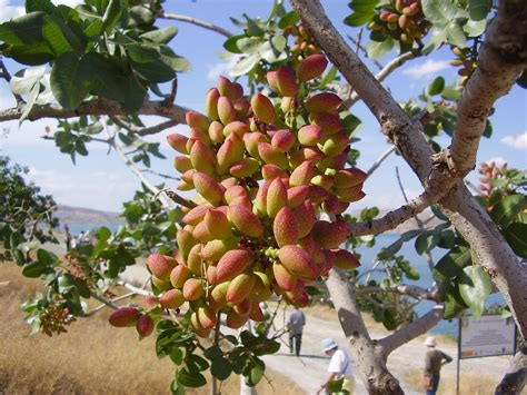 what does a tree to do with how do pistachios grow the tree center