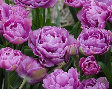 Syari Lilac Mol 1 tulip lilac perfection bulbs buy at farmer gracy uk